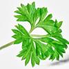 عادات غذایی (۲۶ ) : تغذیه و یادگیری – فصل هفتم: تقویت حافظه و سلامتی/ ادامه بخش پنجم : گیاهان مفید برای عملکرد حافظه و فعالیت های مغزی»»» قسمت ۱۱ : گیاه جعفری